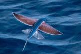 Фото: Летающая рыба.