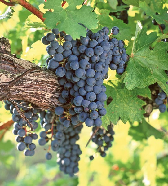 Фото: Виноградная гроздь.