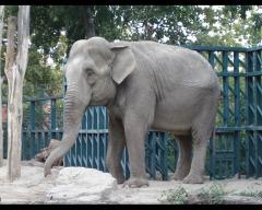 Фото: Индийская слониха Венди (Одесский зоопарк).
