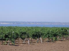 Фото: виноградники винодельческого предприятия «Коблево»