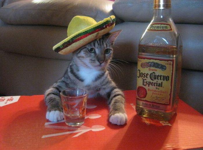 Фото: Кот и бутылка текилы