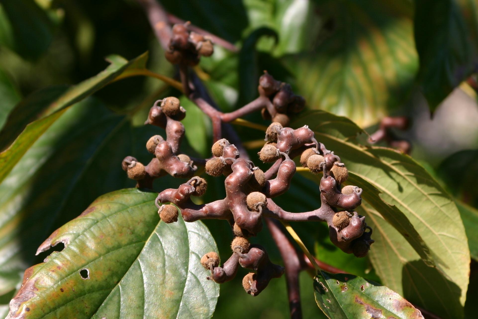 Фото: «Конфетное дерево» («Hovenia Dulcis») — источник лекарства от похмелья и алкоголизма.